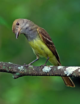 Great Crested Flycatcher (by Stuart McPherson)