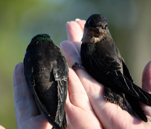 Chimney Swifts Being Released after Rehab